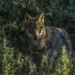 El partido Verde EQUO, Lobo Marley y Ecologistas en Acción, solicitan al Defensor del Pueblo Andaluz respuesta de la Junta de Andalucía de un plan de recuperación del lobo ibérico