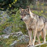 Queremos frenar el atropello de lobos en el paso de la A1 por Somosierra