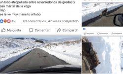 lobo atropellado en Gredos
